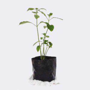 Sukh Shanti Plant