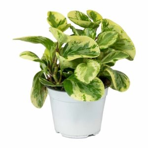 Peperomia Variegated Green