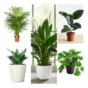 Top 5 Air Purifier and Oxygen Enriching Live Plants