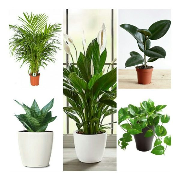 Top_5_air_purifying_plants_combo_airifier