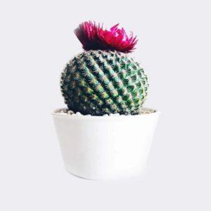 Notocactus crassigibus – Cactus Plant