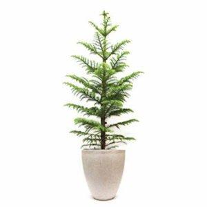 Christmas Tree (Plant) – 1 Feet