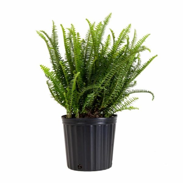 fern_plant_indoor_air_purifying