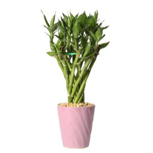 3-Layer Lucky Bamboo Plant