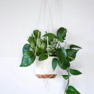 Money Plant in Hanging Basket