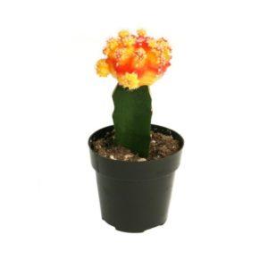 Moon Cactus Grafted Orange