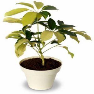 Saplera Yellow Leaf Plant
