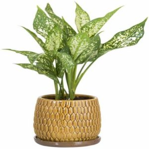 Snow-White Aglaonema (Snow-flake Aglaonema)