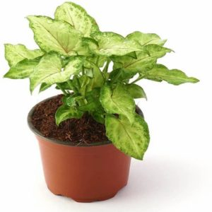 Syngonium Green Plant