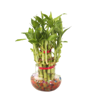 2-Layer Lucky Bamboo Plant
